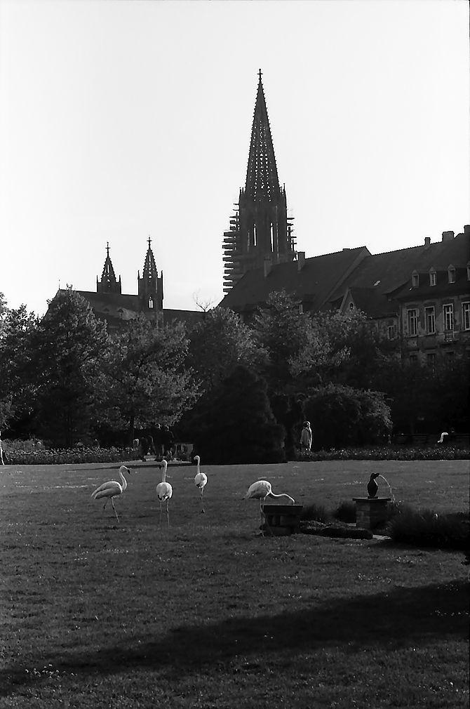 Flamingos_Stadtgarten_Freiburg_mit Muenster_1967